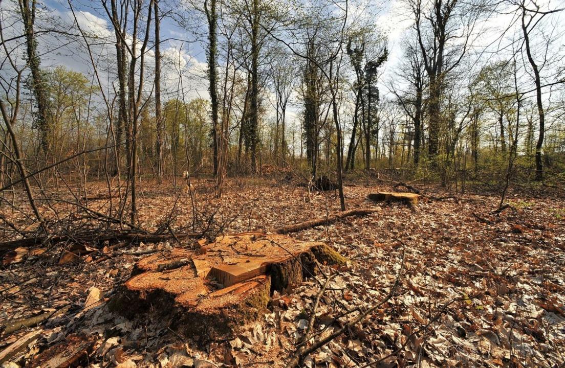 Abgeholzter Mooswald? Dieses Szenario ...e müssten bis Oktober gefunden werden.  | Foto: Michael Bamberger