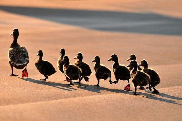 Die Bundesstraße bei Rheinfelden ist eine große Gefahr für kleine Enten