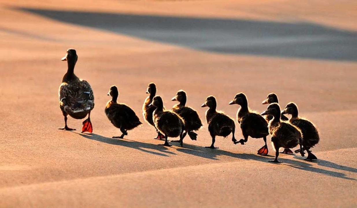 Eine Entenfamilie läuft über eine Stra...d und munter auf der anderen Seite an.  | Foto: Reine - stock.adobe.com