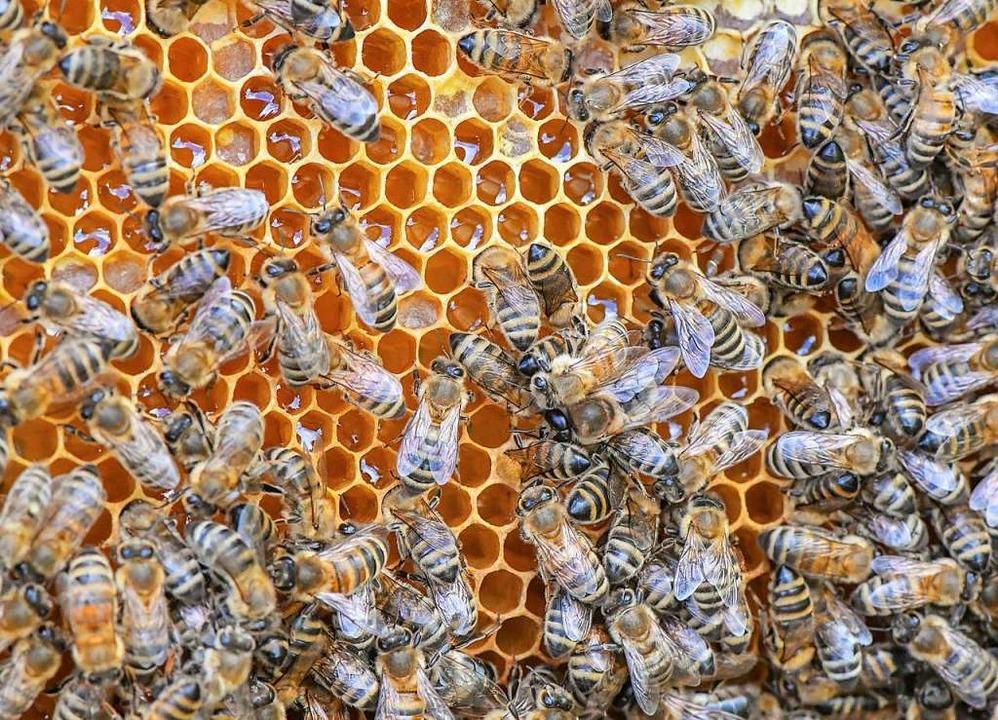 Bienen auf einer Honig-Wabe    Foto: Patrick Pleul (dpa)