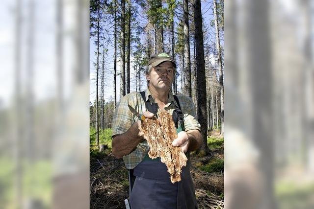 Borkenkäfer verwüsten den Wald