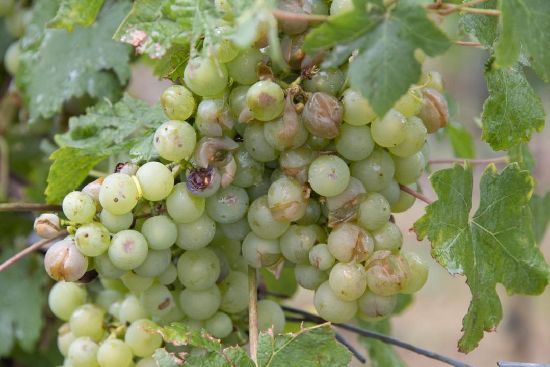 Das tut jedem Winzer weh: Weintrauben mit Hagelschäden.  | Foto: Volker Münch