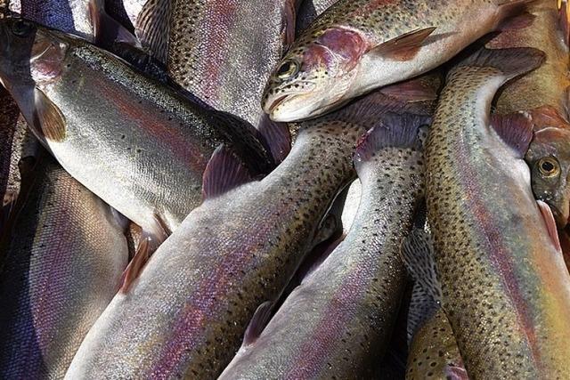 Interesse an frischem Fisch ist groß