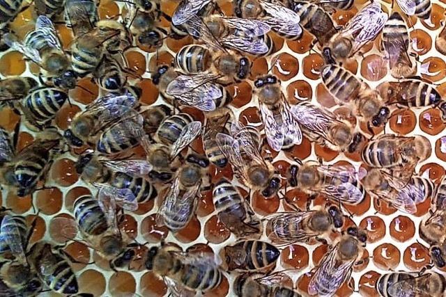 Bienenfleißiger Einsatz fürs Imkern