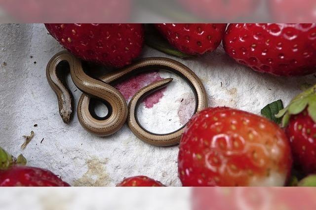 Erdbeeren und Blindschleiche zum Frühstück