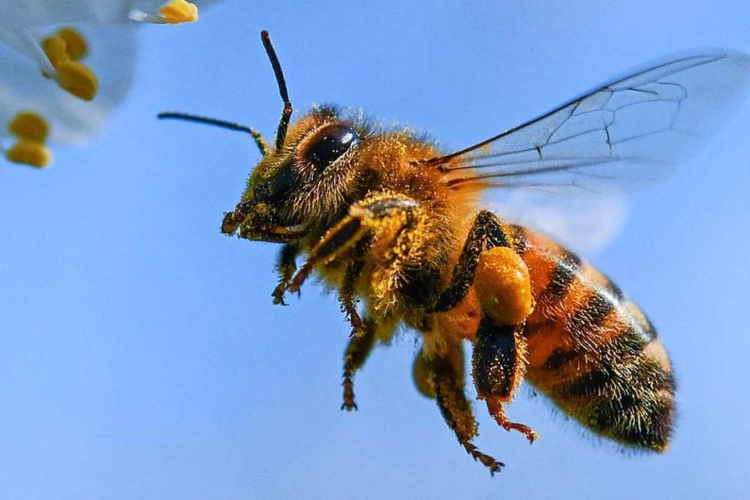 Auch Bienen haben eine Lobby. Doch vie...rderungen des Volksbegehrens  zu weit.  | Foto: Patrick Pleul (dpa)