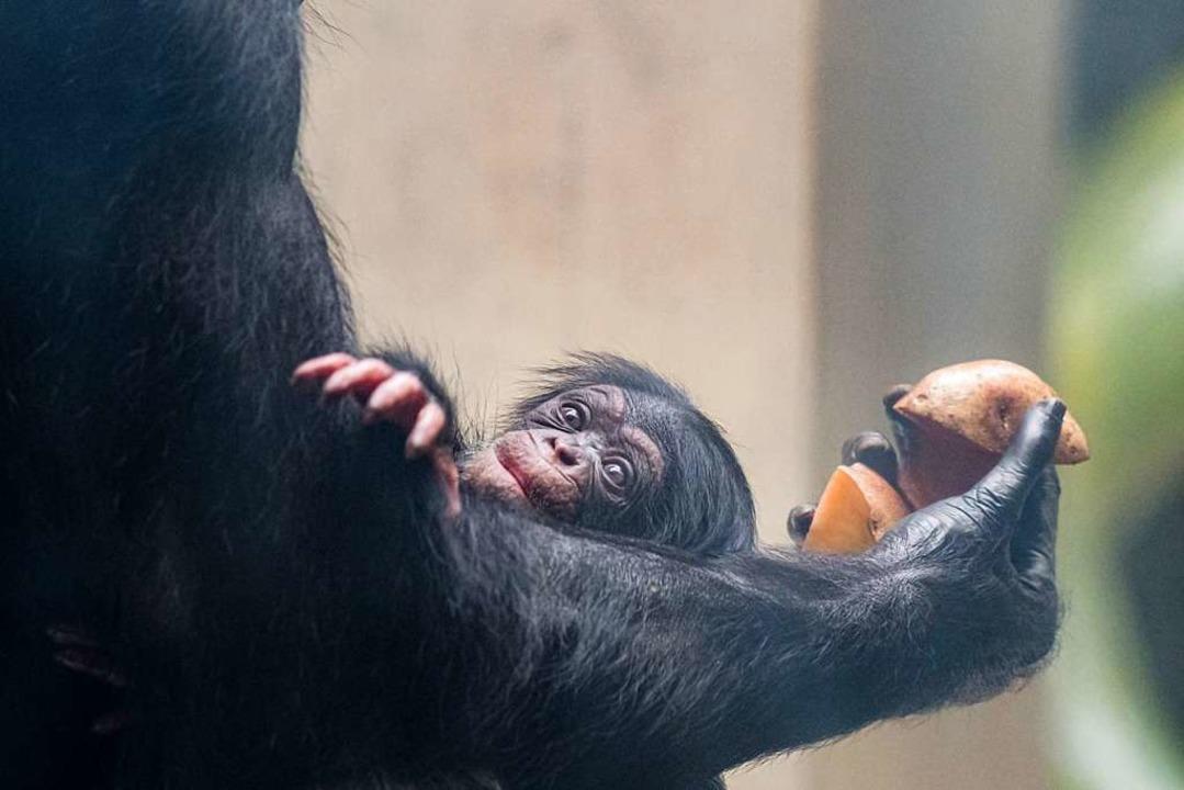 Schimpansen-Nachwuchs  | Foto: Zoo Basel (Torben Weber)