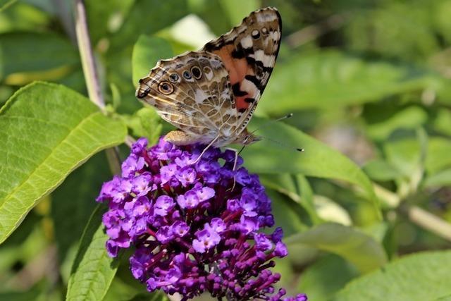 Anziehungspunkt für Schmetterlinge