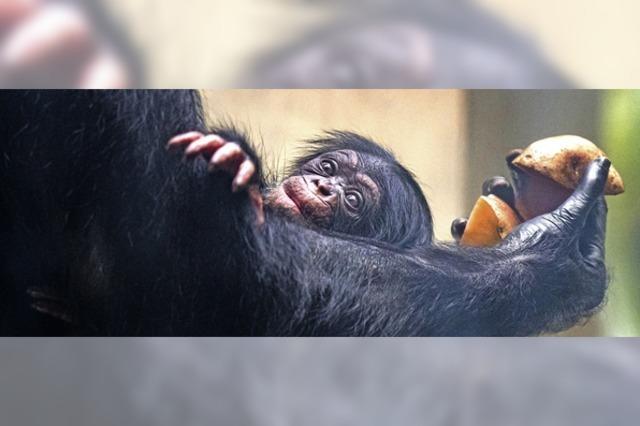 Schimpansennachwuchs im Basler Zoo