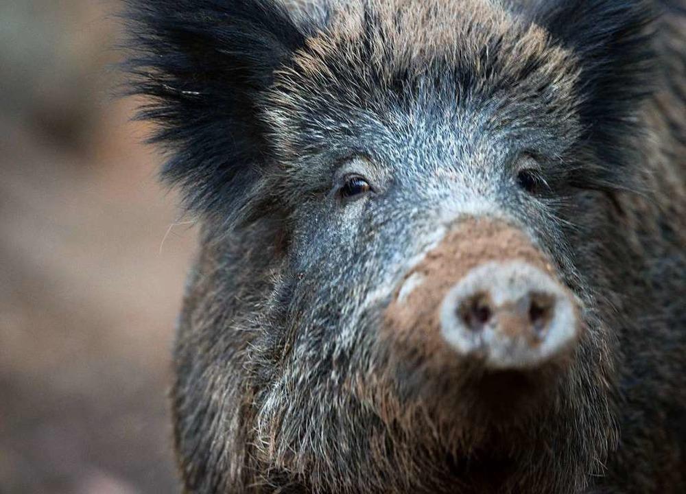 An Wildschweinen mangelt es in Deutsch...er Menschen taugen sie trotzdem nicht.  | Foto: Lino Mirgeler (dpa)