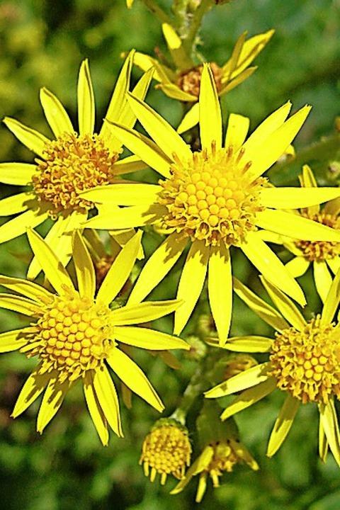 Blüht schön gelb, ist aber giftig: Jakobskreuzkraut.  | Foto: Dr. Marianne Klug