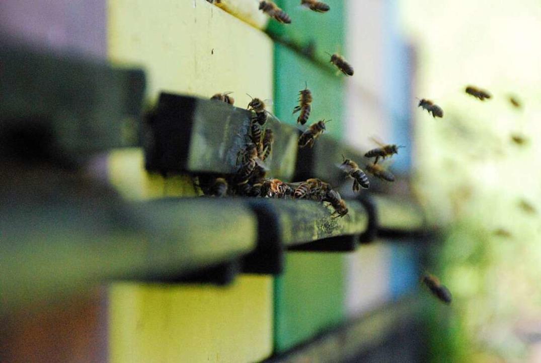 Die Bienen kehren zum Stock zurück.  | Foto: Maja Tolsdorf
