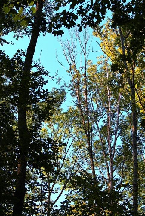 Ausgelichtete und dürre Baumkronen sind untrügliche Zeichen des Waldsterbens.   | Foto: Reiner Beschorner