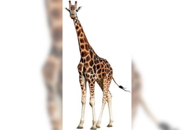 Mehr Schutz für Giraffen