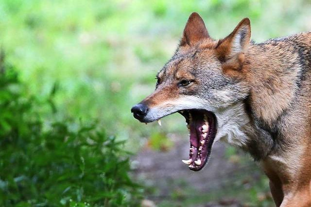 Umweltminister: Wolf wird als