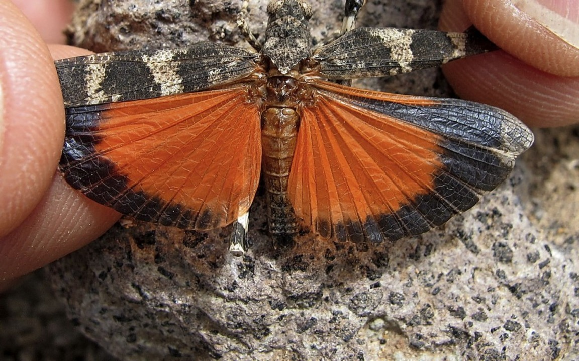 Mit ausgebreiteten Flügeln verliert das Tier die  Tarnung.    Foto: Reinhold Treiber