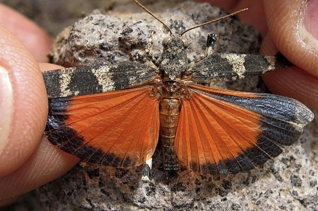 Mit ausgebreiteten Flügeln verliert das Tier seine  Tarnung    Foto: Reinhold Treiber