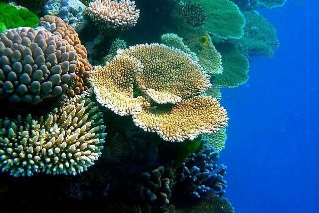 Korallenriff in Gefahr