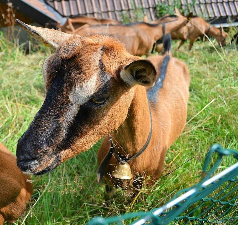 Die Ziegen des Geißenvereins sind wichtig für die Offenhaltung der Landschaft.  | Foto: Paul Berger