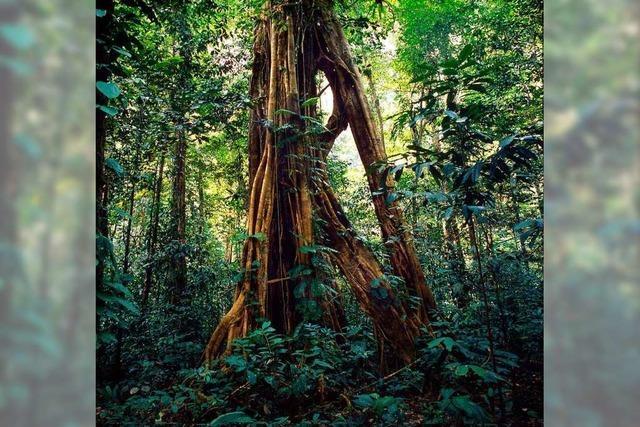 Wieder wirkliche Wildnis im Wald? Freiburger Forscher arbeiten daran