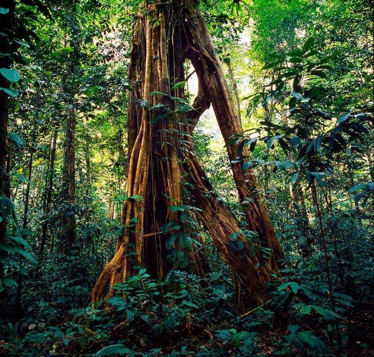 Regenwald in Borneo – das Bild, ...burger Wissenschaftler arbeiten daran.  | Foto: DPA Deutsche Presse-Agentur GmbH
