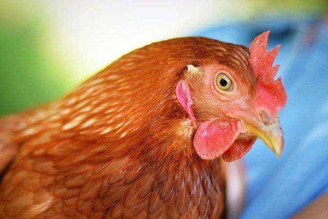 Leih dir ein Huhn: In Oberried lässt sich Geflügel mieten