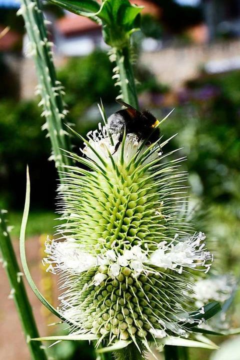 Der Kartausgarten schafft ein reichhaltiges Nahrungsangebot für Bienen.  | Foto: Thomas Kunz
