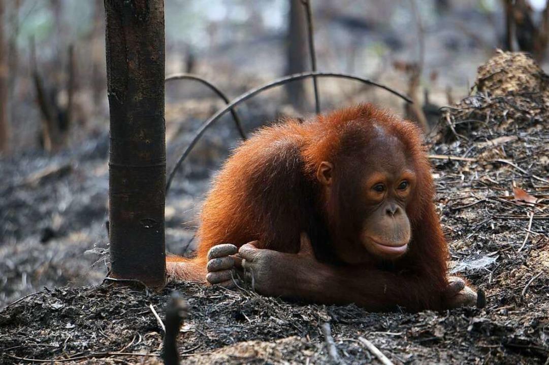 Der Orang-Utan gehört zu den vom Aussterben bedrohten Tierarten.  | Foto: BOS (dpa)