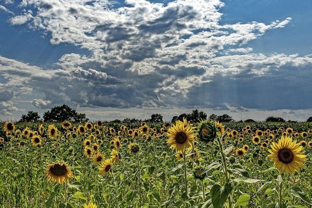 Die hohe Zeit der Sonnenblumen