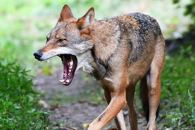 Im Tierpark Lange Erlen soll ab 2021 eine Wolfsanlage gebaut werden