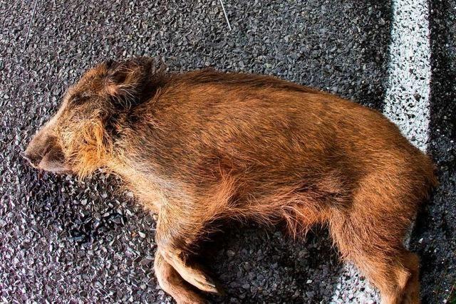 Fünf Wildschweine bei Unfall mit Auto getötet