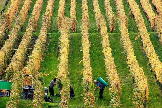 WG Wolfenweiler und Winzerhaus St. Georg veranstalten eine Wein- und Genusswanderung