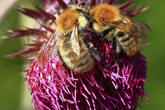 Jeder kann Beitrag zum Schutz der Insekten leisten