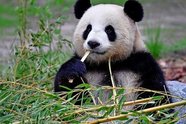 Baby-Panda in Aussicht