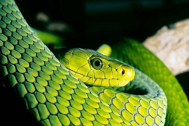 Freiburger Tierschützer beklagen immer mehr ausgesetzte exotische Reptilien