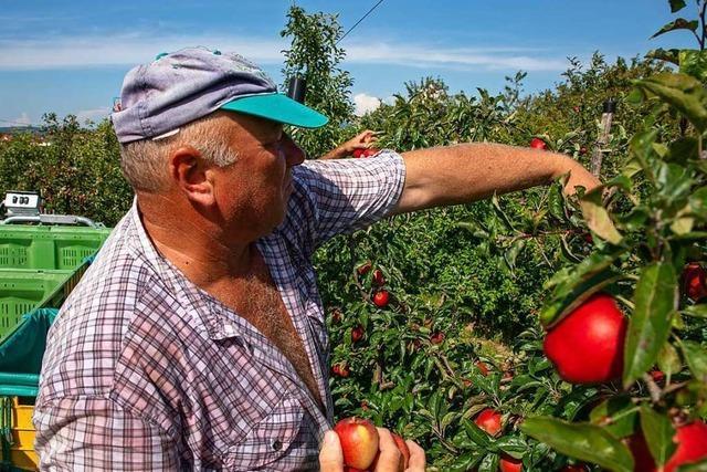 Im Breisgau hat die Apfelernte begonnen