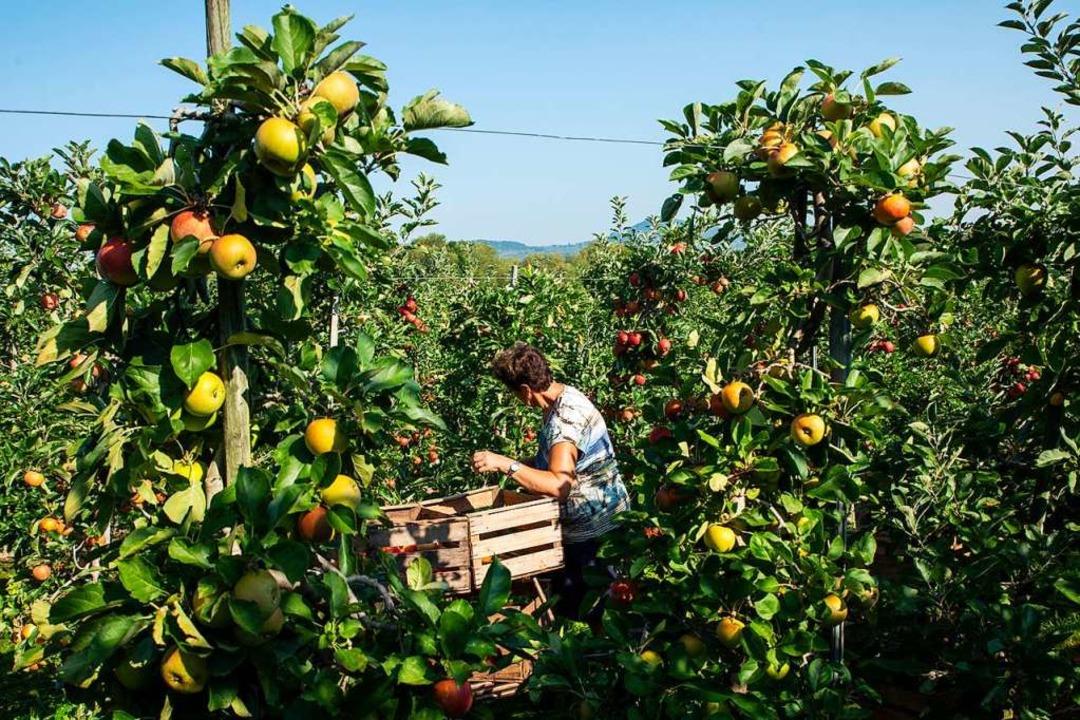 Apfelernte bei Hagios  | Foto: Hubert Gemmert