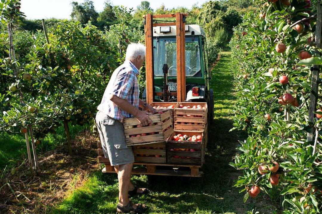 Abtransport der gepflückten Äpfel ins Lager  | Foto: Hubert Gemmert
