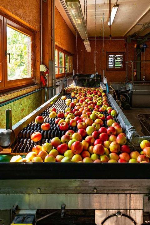 Die Äpfel werden verarbeitet.  | Foto: Hubert Gemmert