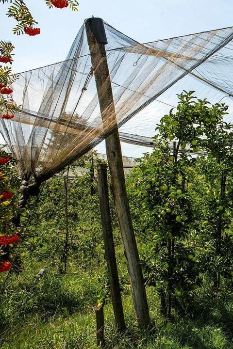 Netze schützen das Obst vor Hagel.  | Foto: Hubert Gemmert