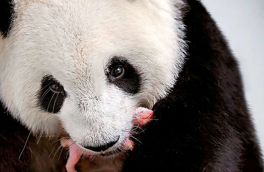 Die Pandamama aus dem Berliner Zoo trägt ihr winziges Baby im Maul.  | Foto: Werner Kranwetvogel (dpa)