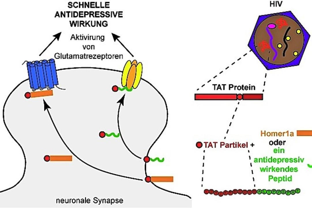 Schneller in die Zelle: Mit Bestandtei...den der Weg ins Gehirn geebnet werden.  | Foto: Privat