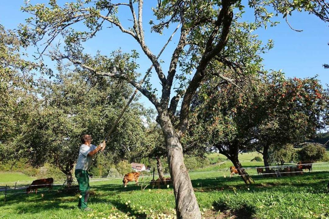 Vom Äpfelschütteln können Streuobstwie...s träumen. Die Bäume tragen kaum Obst.  | Foto: Martha Weishaar