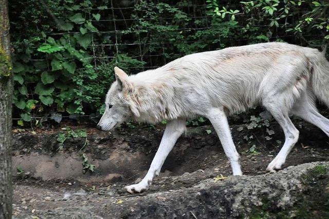 Im Basler Zoo sind die letzten zwei Wölfe Cleopatra und Cäsar verstorben