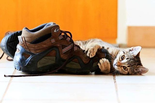 Kätzchen mit Schuh setzt sich gegen am Tisch sitzende Bulldogge durch