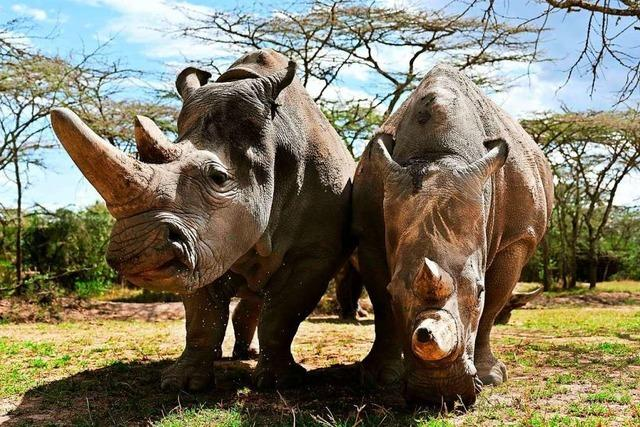 Die Reproduktionsmedizin soll das Breitmaulnashorn retten