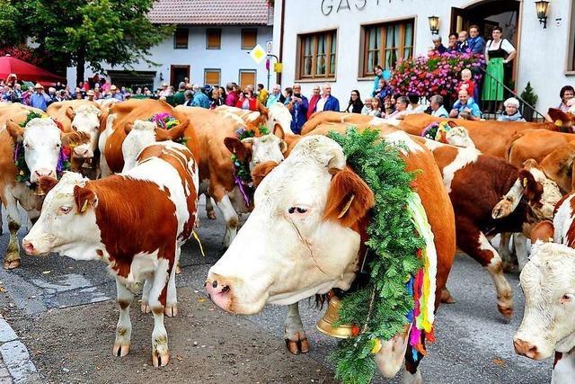 Kühe und Ziegen ziehen durchs Dorf – und dazu gibt's Musik, Tanz und gutes Essen