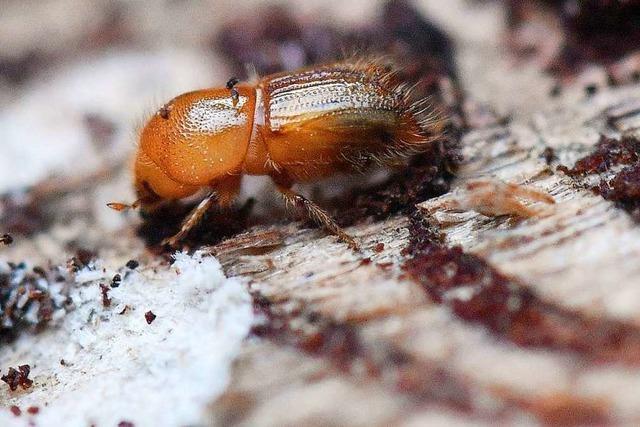 Pflanzenschutzmittel könnten rund um Todtnau gegen den Borkenkäfer eingesetzt werden