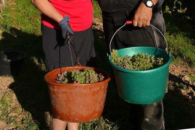 Hitze führt zu früher Weinlese am Batzenberg