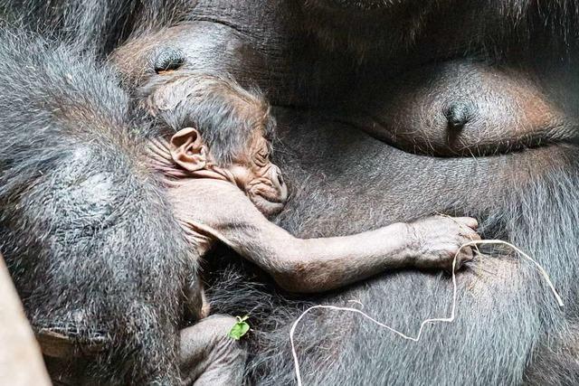 Nach vier Jahren gibt es wieder Nachwuchs bei den Gorillas im Basler Zoo